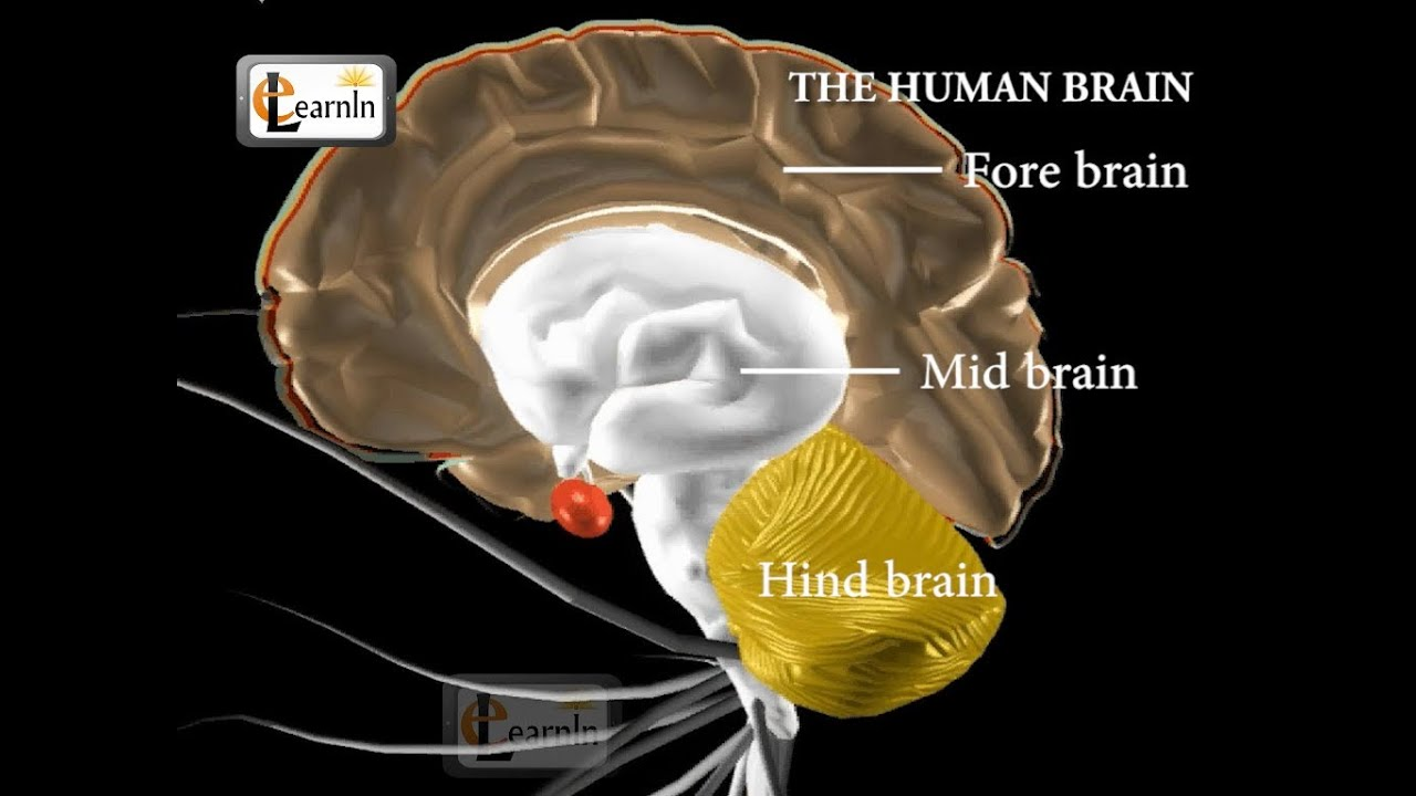 Human Brain And Its Parts Biology Youtube