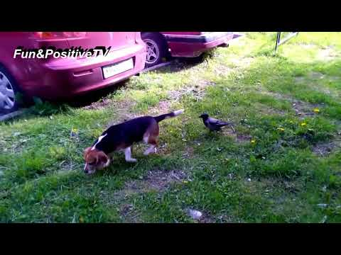 Top Funny Crow Videos Compilation 2018 Best Of Youtube