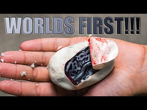 HATCHED A WORLDS FIRST BLUE AND SILVER SNAKE!! SUPER LORI LEOPARD BALL PYTHON!! | BRIAN BARCZYK