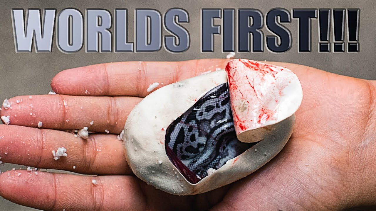 Hatched A Worlds First Blue And Silver Snake Super Lori Leopard Ball Python Brian Barczyk Youtube