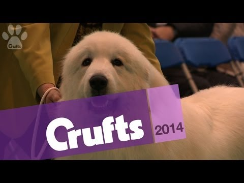 Pyrenean Mountain Dog | Best of Breed | Crufts 2014