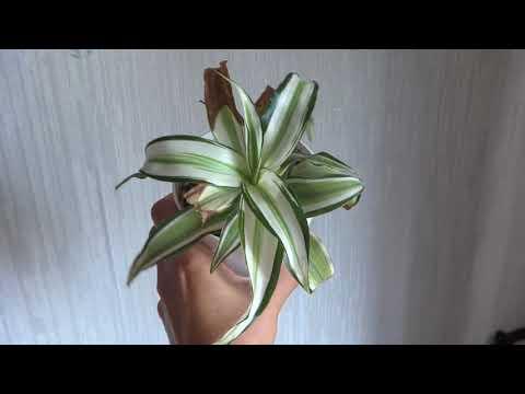Цветы в моем доме. Комнатные растения. Пальмы и похожие. 2ч