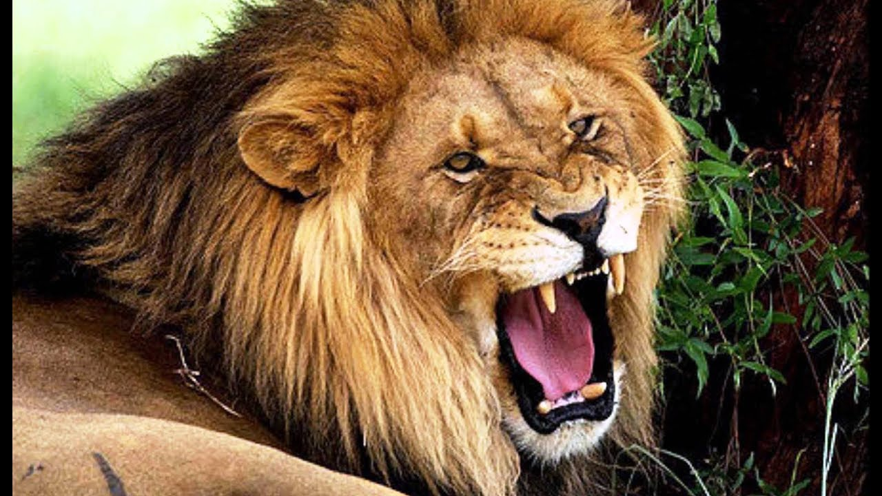 बब्बर शेर दूसरे शेर को किस तरह बुलाता है How does Asiatic Lion call another  lion in gir forest