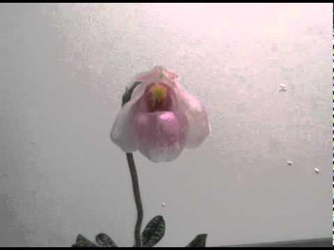 Paphiopedilum delenatii flower opens (time-lapse)