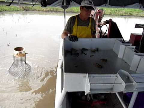 Crawfishing With Albert in South Louisiana