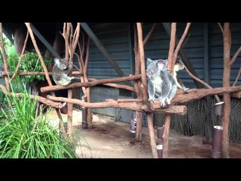Lone Pine Koala Sanctuary :)