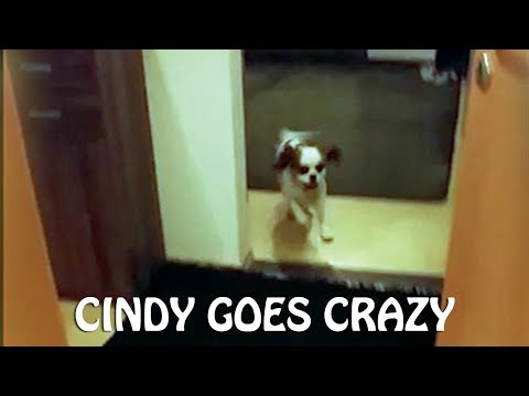 King Charles Spaniel (Cindy) goes crazy after bath time