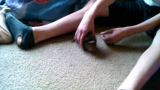 Guinea pigs having sex