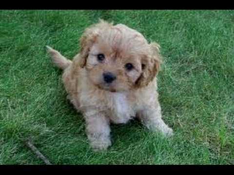 Cava Poo, Puppies, Dogs, For Sale, In Jackson, Mississippi ...