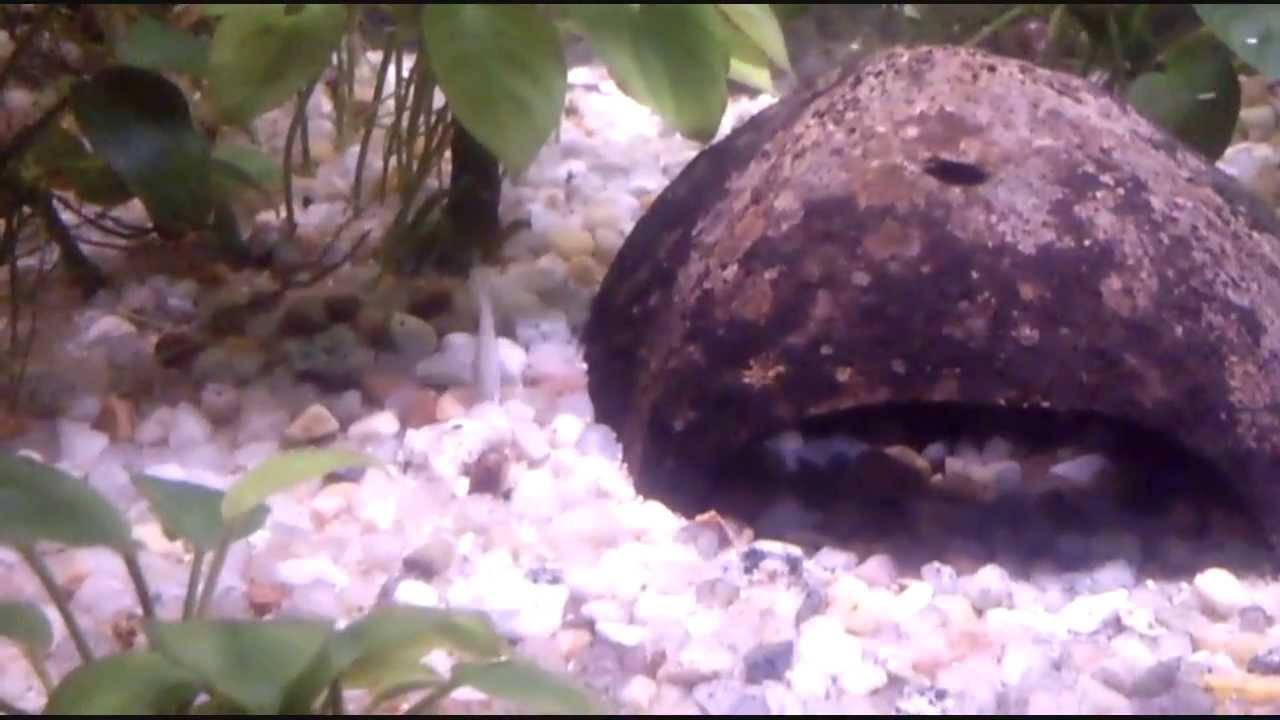Peces peque os en el acuario molly acuarios tropicales for Peces para acuarios pequenos
