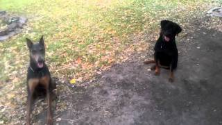 Doberman Pinscher And Rottweiler Playing Fetch