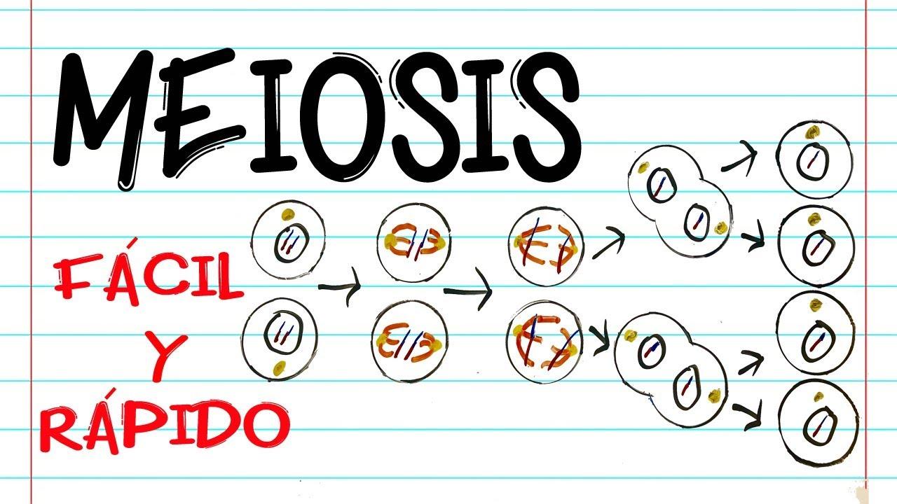 División Celular Meiosis Fases Fácil Y Rápido Biología Youtube