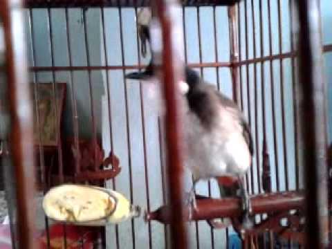 นกกรงเวียดนามปีกขาว (อาก้า)