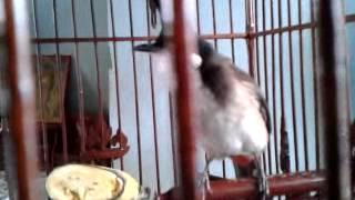 Repeat youtube video นกกรงเวียดนามปีกขาว (อาก้า)