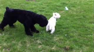 Westie Vs Black Russian Terrier Round 3