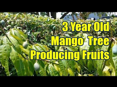 Seed Grown 3 Year Old Mango Tree Producing Fruits