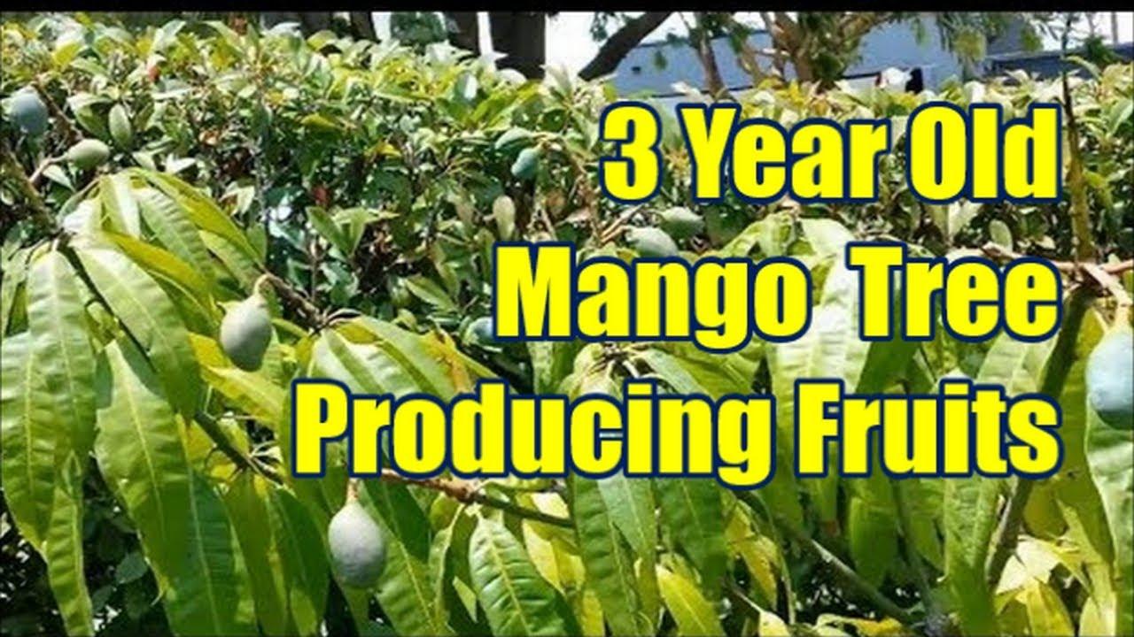 Mango Tree Not Producing Fruit Part - 31: Seed Grown 3 Year Old Mango Tree Producing Fruits