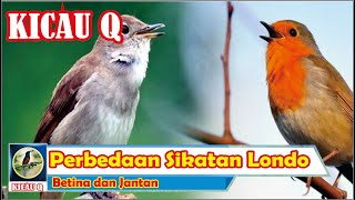 Perbedaan Sikatan Londo Betina dan Jantan | KICAU Q