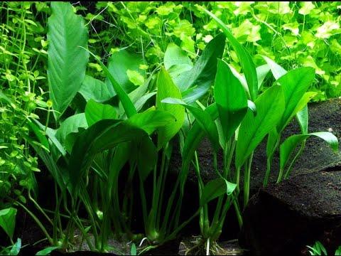 Anubias Angustifolia Afzelii ( Narrow leaved anubias / Small anubias) Care and Info