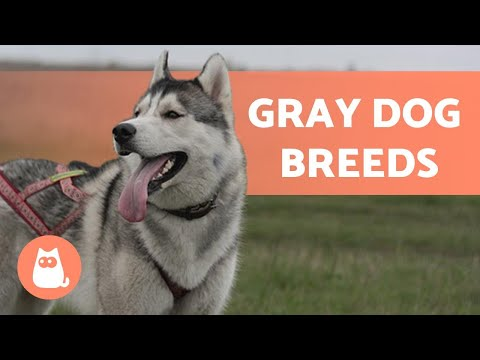 10 GRAY DOG BREEDS 😍 Which Is Your FAVORITE?