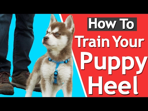 how-to-teach-your-puppy-to-heel