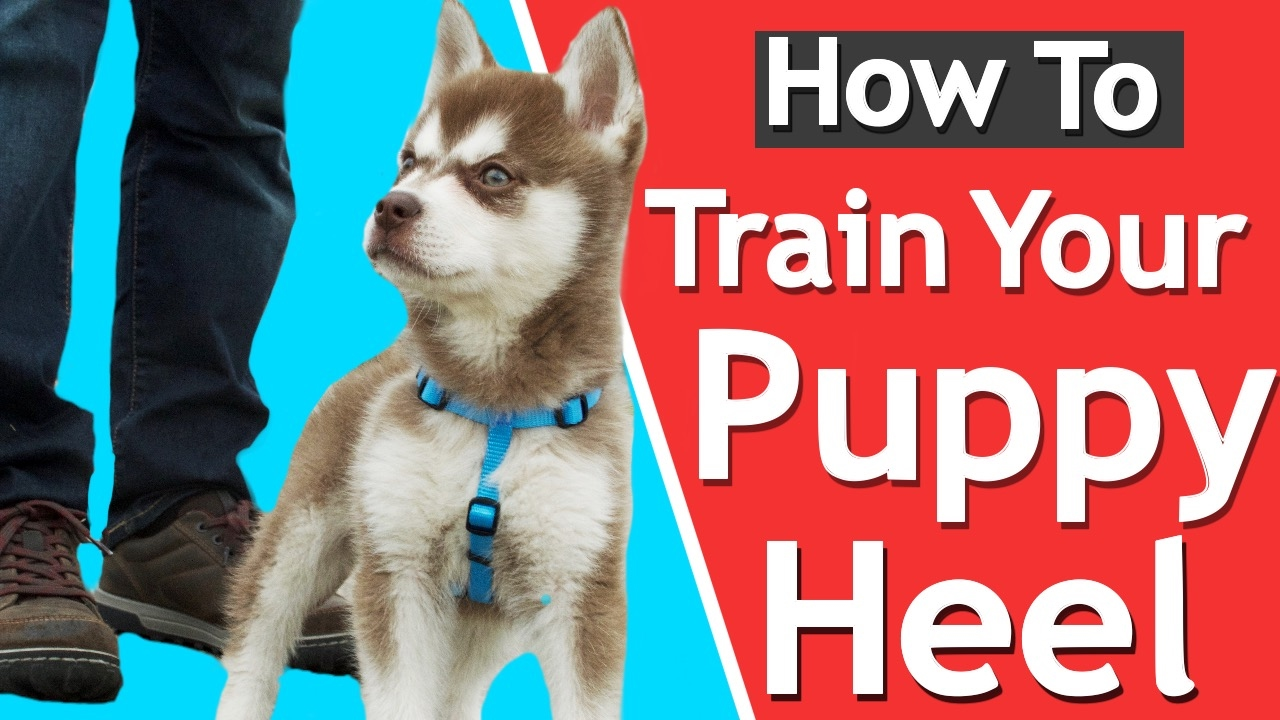 Download How To Teach your Puppy to Heel