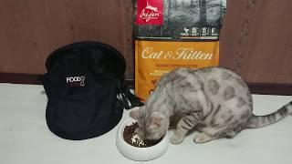 Лучший корм для кота. ORIJEN Cat and Kitten. Что ест Бенгальский кот Вирсик. 猫