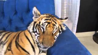 Домашний тигр) Отдыхает на диване)