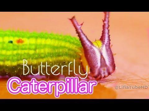 Video UNIK! Caterpillar - metamorfosis butterfly - Kepompong Ulat Kupu-Kupu Mp3