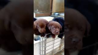 ムチムチコロコロでとっても可愛らしいラブラドールレトリバーの子犬達...