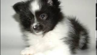 Pomeranian Facts - Facts About Pomeranians
