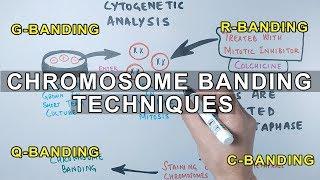 Chromosome Banding Techniques