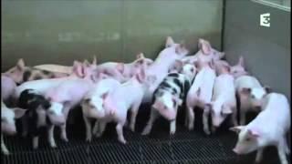 Histoire de l'élevage intensif - extrait de adieu veau, vache, cochon, couvée