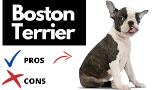 Boston Terrier Pros And Cons | The Good AND The Bad!!