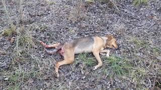 Охота на охотничьих собак
