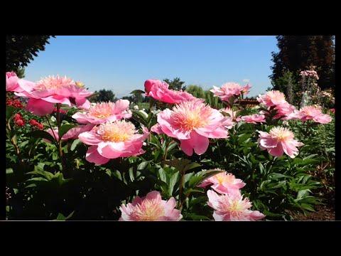 PEONY - ADELMAN GARDENS - BEAUTIFUL FLOWERS!