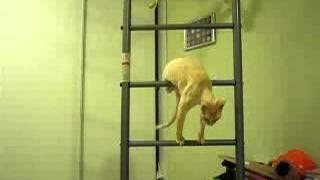 Неспортивный и робкий котенок-рекс