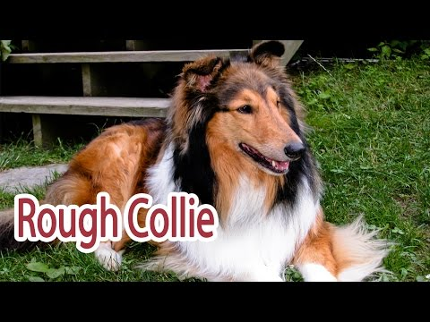 Rough Collie Breed