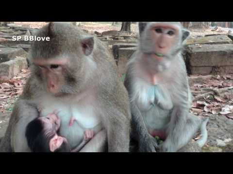 Adult Monkey Kinap Baby Monkey