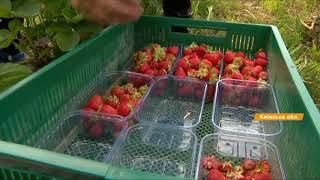 Как начать ягодный бизнес и что выращивать для экспорта в ЕС