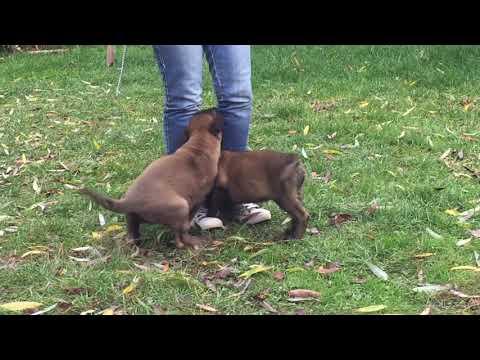 Belgian Shepherd Malinois  female for sale Euro Puppy