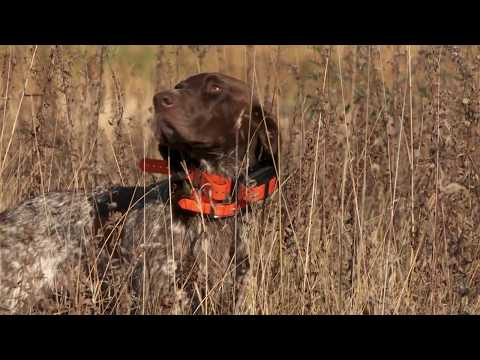 Keep track of your gun dog in heavy cover.