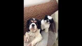 Horace The Shih Tzu And Bertie The King Charles Cavalier Spaniel