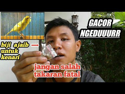 Cara Membuat Kenari Gacor Pakai Biji Fumayin Make Cannary Food Youtube