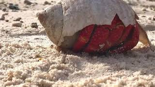 Strawberry Hermit Crab Awakes on Island off Great Barrier Reef