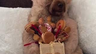 Goldendoodle Enjoys a Junk Food Bouqet