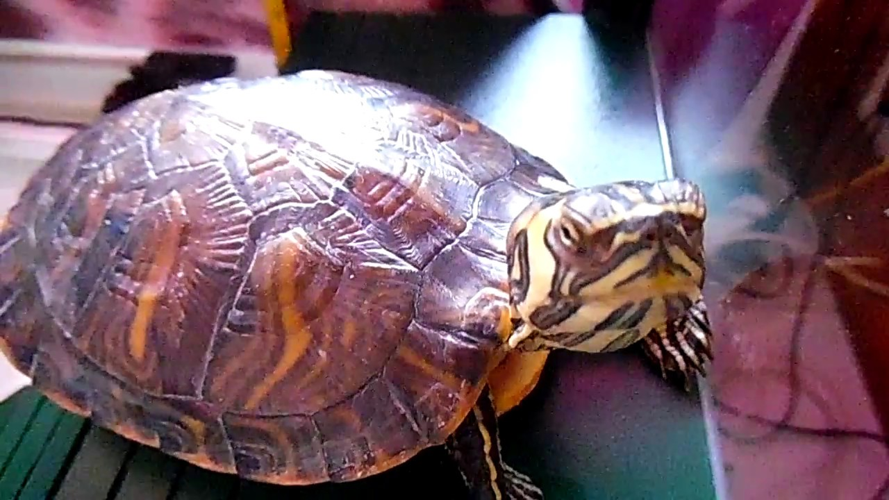 My pet Ninja Turtle - YouTube