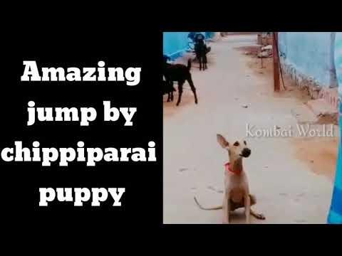 Chippiparai puppy amazing jump | kanni dog | Tamilnadu native dog breeds