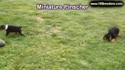 Miniature Pinscher, Puppies, Dogs, For Sale, In Jacksonville, Florida, FL, 19Breeders, Orlando