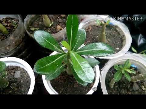 Pruning baby adenium